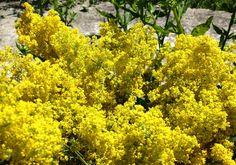 Aroma florilor de sânziene aduce cu cea a teiului, este mai fina și parcă ușor mentolată. Un fir de sanziană parfumează o cameră întregă. Plants, Park, Plant, Planets