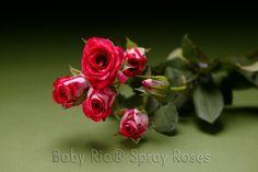 Baby Rio® CHERRY FOLLIES Spray Rose