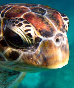 #hawksbill turtle on the #similanislands #Diving