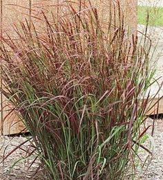 "Prairie Fire Red Switch Grass  Panicum virgatum ""Prairie Fire""  Height: 5 feet  Spread: 3 feet"
