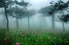 Siam tulip field in the proposed Pa Hin Ngam National Park in Chaiyaphum Province, Thailand.