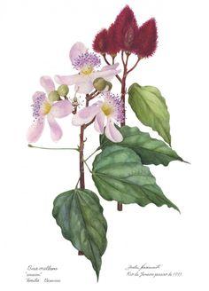 ilustraçoes botânicas brasileiras - Pesquisa Google