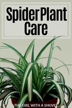 Plant Care Spider Plant Care: Light Requirements, Water Requirements, and Additional Tips on how to care for your spider plant!Spider Plant Care: Light Requirements, Water Requirements, and Additional Tips on how to care for your spider plant! Hanging Plants, Indoor Plants, Potted Plants, Organic Gardening, Gardening Tips, Indoor Gardening, Gardening Gloves, Kitchen Gardening, Outdoor Gardens