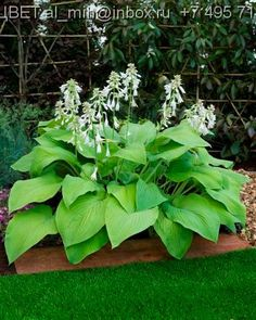 Hosta 'T Rex' - For Veronica, so she can think of Fuji every time she sees it!!