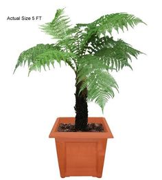 Australian Tree Fern (Australia.)We have traveled the globe to bring you the most exotic, rare, and beautiful species of plants and palm trees shipped directly to your door! If you're interested in buying something unique for a friend, office, or your significant other, just visit www.realpalmtrees.com for gift ideas, they even come wrapped in a bow! Palm trees and plants are great for outdoor landscaping, decorating a pool patio, for a spa or Jacuzzi, or just to spread the word of Green…