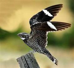 The Common Nighthawk. Threatened species in Canada. Areas surveyed over the last three generations have shown an almost 50 percent decline in the species! Reasons for its decline may include reductions in the number of insects and loss of the open habitat in which it thrives.
