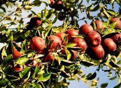 Metodă de altoire a pomilor maturi, mai puțin cunoscută (cu video) | Paradis Verde Plum, Apple, Fruit, Food, Plant, Apple Fruit, Essen, Meals, Yemek