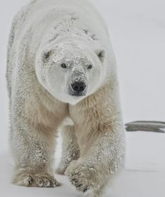 Mature male polar bear spends most of his life on the hunt for nourishment. For a huge carnivorous animal it can move swiftly on land and water. Notice the mammoth paws. Polar Bear Hunting, Polar Bear On Ice, Cute Polar Bear, Bear Photos, Bear Pictures, Bear Pics, Carnivorous Animals, Polar Bears International, Vulnerable Species