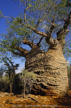 Fony Baobab (Adansonia rubrostipa) tree and Radiated Tortoise (Geochelone radiata) endangered, Tsimanampetsotsa Lake region, Madagascar