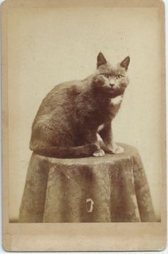 Antique photograph of beloved cat.