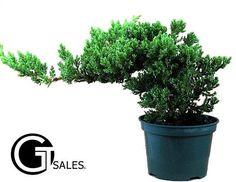 Bonsai Starter Tree Plant Japanese Chinese Juniper Indoor Dwarf New Great Gift