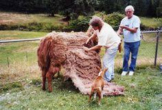 Hand Shearing Shearing, Llamas, Birds, Horses, Sea, Bird, Horse, Ocean