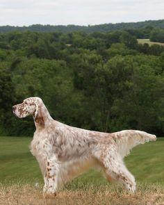 "Click visit site and Check out Best ""English Setter"" T-shirts. This website is…"
