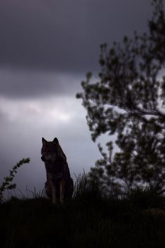 Lone Wolf Sillouette by DoubleYa, via Flickr