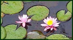 Natureza - Planta Aquática - Ninfeia Nenufar Cor de Rosa - Nymphaea odor...