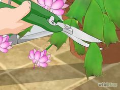 Care for a Christmas Cactus
