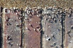 Flying ants: Terrifying pictures show millions of insects invading Britain's homes - Mirror Online
