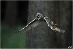 Hibou moyen duc    (Asio otus)   (Long-eared Owl)