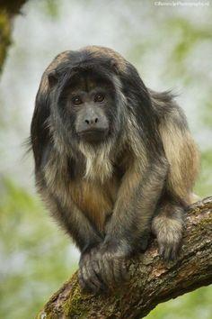 Black howler monkey.