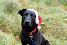 Toledo Ohio Photography   Pet Photography   Christmas Card Photos   Santa Paws   Black Lab   Labrador Retriever   Rescue Dog