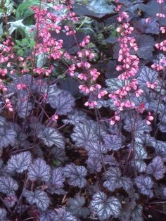 There are 50 types of Coral Bells, all beautiful and easily grown California natives. One type, Heuchera Maximus grows on three of the eight Channel Islands of California, in salty ocean breezes on cliffs and down to the shore. All 50 species are native only to North America and grow readily in the wild and in your garden. One of the prettiest has large rounded multi-lobed leaves, deep purple in color, that form a ruffled mound before sending up stalks of terra-cotta, white or pink colored…