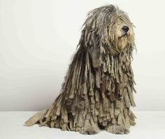 """Bergamasco Quick Facts    The Bergamasco's most unique characteristic is his coat. The coat contains three different """"types"""" of hair (""""dog hair"""", """"goat hair"""", and """"wool"""") that combine to form unique mats.  Group:Herding Group  Size:Medium, Large  Color:All shades of grey to solid black"""