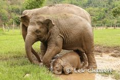 Dok Ngern, the teenage mother, has missed her fun time; when she has many Nannies to help her taking care of her baby, then her fun time begins. I just want to show you that is why I keep say that , THE ELEPHANT ARE THE BEAUTIFUL PEOPLE.