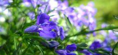 Lobelia: una planta perenne para el exterior