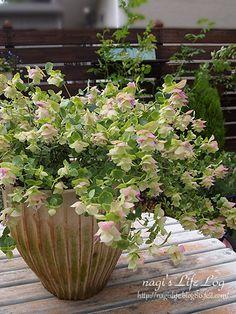 アフターガーデニングも楽しむアナベルとケントビューティー | nagi's LIFE LOG Green Garden, Garden Plants, Container Gardening, Gardening Tips, Green Flowers, Horticulture, Garden Projects, Botany, Flower Pots