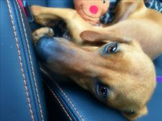 #red #dachshund #vizsla #redbone coonhound #mix #found in #troy #ny area. I adopted her at the shelter after several weeks unclaimed. She is safe, vetted & loved. Cross post please - her owners may be in another state missing her. I named her Chilli Bean. She is very skinny and lightboned. Thought she might be part #Italian #Greyhound