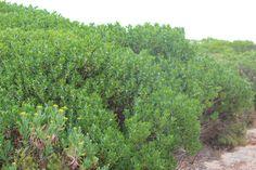 Myoporum insulare – Boobialla