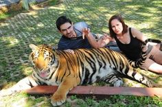Technosyncratic plays with the tigers in Chiang Mai. Looks scary to me!
