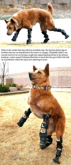 Naki'o is the first dog to have four prosthetic legs.