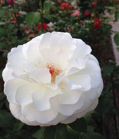 Sugar Moon' by Weeks Roses