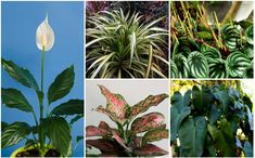 Indoor Gardening Have an area in your home that lacks sunlight? Check out our guide on 20 plants that grow without sunlight. - Have an area in your home that lacks sunlight? Check out our guide on 20 plants that grow without sunlight. Hydroponic Gardening, Hydroponics, Organic Gardening, Indoor Gardening, Gardening Tips, Inside Plants, All Plants, Growing Plants, Best Bathroom Plants