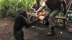 Den, kdy Jane Goodallová zahájila svůj výzkum šimpanzů (14. červenec) - Stream