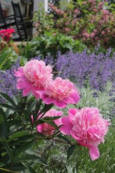 Peonies and Russian sage.....