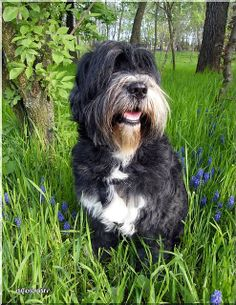 tibetan Terrier photo | Recent Photos The Commons Getty Collection Galleries World Map App ... Tibetan Terrier, Afghan Hound, Animal 2, Spaniels, Terriers, Galleries, Dog Breeds, Dog Cat, Puppies