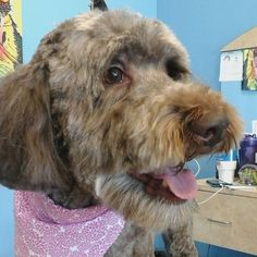 Penny #tucsondoggrooming #doggrooming #wagsmytail #labradoodle A well groomed dog is a well loved dog! Call us today to schedule your dog grooming appointment 520-744-7040