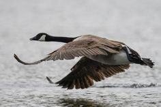 """caravaggio12: """" kohalmitamas: """"Wide-bodied flyer by Roland-F """" #IFTTT#500px#canada#birds#water#bird#flight#fly#wildlife#wings#flying#wild#feather"""""""