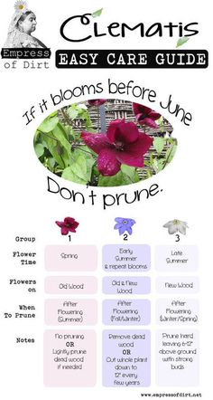 Every year Lanthier Winery master gardeners are asked when to prune Clematis The answer: If it blooms in June please dont prune! Clematis pruning tips and lots more in this Clematis Easy Care Guide! Garden Care, Diy Garden, Lawn And Garden, Garden Projects, Garden Landscaping, Garden Shrubs, Shade Garden Plants, Plants Indoor, Garden Bed