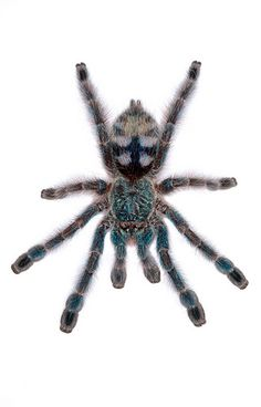 versicolor Tarantula Tarantulas #tarantula #tarantulas