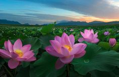 Flower Pictures Pink Flowers And Green Leaves Traditional Flowers In China Lotus Wallpaper Hd For Desktop Tablets And Mobile Phones Lotus Wallpaper, Hd Wallpaper Desktop, Car Wallpapers, Mobile Wallpaper, Texture Photography, Landscape Photography, Travel Photography, Flower Pictures, Nature Pictures