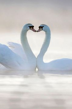 Two swans form a heart shape surrounded by early morning mist in Cleveland...
