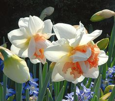 Narcissus My Story - White Flower Farm 14 in tall, blooms April - May