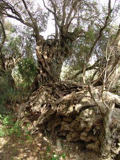 Roman olive tree, Malta. Malta Island, Little Island, Olive Tree, Growing Tree, Ancient Rome, Mother Nature, Countryside, Around The Worlds, Vinegar