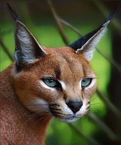 "The Caracal, is a fiercely territorial medium-sized cat ranging over Western Asia, South Asia and Africa. The word caracal comes from the Turkish word ""karakulak"", meaning ""black ear""."