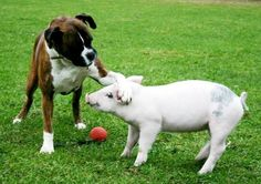 The Boxer and Her Piglet: After Tabitha the pig was found on the side of the road as an hour-old piglet, the founder of the Hillside Animal Sanctuary in Norfolk, Great Britain, took her in to nurse her back to health. Their 5-year-old boxer, Susie, immediately fell in love with the piglet and took her under her paw. Even as the piglet has grown up, the two remain close, racing around and playing all day.