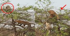 Monkey beats tiger in this amazing tree chase