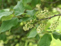 http://faaxaal.forumgratuit.ca/t2978-photo-de-rosacee-cerisier-de-virginie-prunus-virginiana-cerisier-a-grappes-virginia-bird-cherry